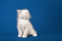 Small Siberian Neva Masquerade kitten Royalty Free Stock Photography
