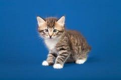 Small Siberian Neva Masquerade kitten Stock Photo