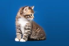 Small Siberian Neva Masquerade kitten Stock Photography
