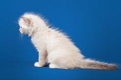 Small Siberian Neva Masquerade kitten Royalty Free Stock Images