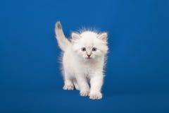 Small Siberian Neva Masquerade kitten Royalty Free Stock Photos