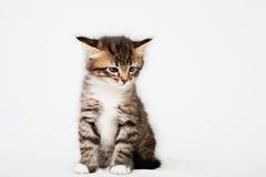 Small Siberian Neva Masquerade kitten Stock Images