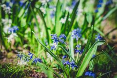 Small Siberian Scylla flowers on flowerbed. Close-up shallow depth of field toned image royalty free stock photo