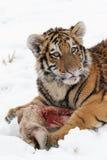 Small Siberian tiger. On snow eats prey Royalty Free Stock Photography