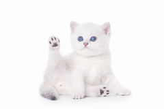 Small silver british kitten Stock Photography