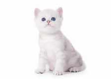 Small silver british kitten Stock Images