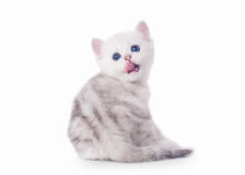 Small silver british kitten Royalty Free Stock Photo