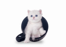 Small silver british kitten in cup Royalty Free Stock Images