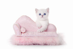 Small silver british kitten on pink divan. On white background Stock Image
