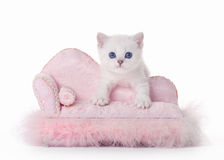 Small silver british kitten with pink divan Stock Images