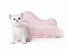 Small silver british kitten with pink divan stock photography