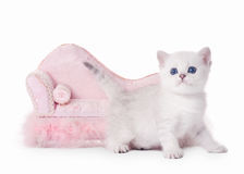 Small silver british kitten with pink divan Stock Photos