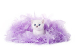 Small silver british kitten in pink plume Royalty Free Stock Images