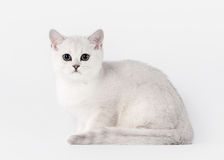 Small silver british kitten on white Stock Image
