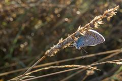 Small silver-studded blue butterfly sit on dry grass, plebejus a. Rgus Stock Photo