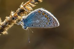 Small silver-studded blue butterfly sit on dry grass, plebejus a. Rgus, macro Stock Photography