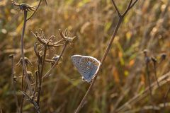 Small silver-studded blue butterfly sit on grass, plebejus argus.  Stock Images