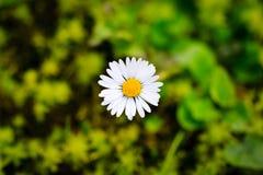 Small single daisy Royalty Free Stock Photography