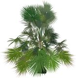 Small single lush green palm tree on white Stock Photography