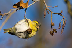 Small siskin (carduelis spinus) Stock Photos
