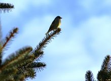 A small siskin meets a bright spring sun with a ringing song. Siskin meets the bright spring sun with a ringing song. The blue sky is a beautiful background for Royalty Free Stock Photos