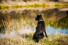 Small Size Black Dog In Grass Near River, Lake. Summer Royalty Free Stock Images