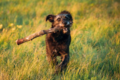 Small Size Black Dog Play With Wooden Stick In Summer Sunset Sun Royalty Free Stock Photos