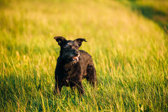 Small Size Black Dog In Summer Sunset Sunrise Meadow, Field Royalty Free Stock Image