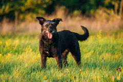 Small Size Black Dog In Summer Sunset Sunrise Meadow, Field Stock Images