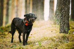 Small Size Black Hunting Dog in Summer Forest Stock Photo