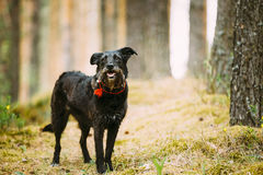 Small Size Black Hunting Dog in Summer Forest. Royalty Free Stock Images