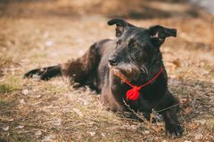 Small Size Black Mixed Breed Dog Resting In Dry Stock Photo