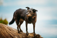 Small Size Black Mixed Breed Dog On Trunk Of Fallen Tree Stock Photo