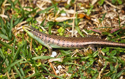 Small Skink Royalty Free Stock Photo