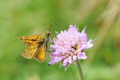 Small Skipper Royalty Free Stock Image