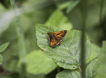 Small skipper Stock Photo