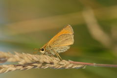 Small skipper butterfly Stock Photography