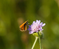 Small Skipper Butterfly Royalty Free Stock Photo