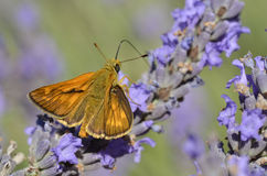 Small skipper butterfly on lavender Stock Image