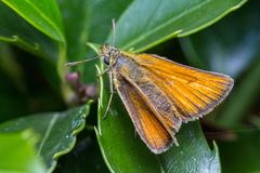 Small skipper butterfly sunning itself on a plant Royalty Free Stock Image