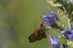 Small Skipper butterfly Royalty Free Stock Images