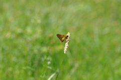 Small Skipper. Butterfly on a twig Royalty Free Stock Photo