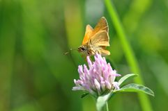 Small Skipper. Butterfly on a twig Stock Image