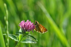 Small Skipper. Butterfly on a twig Stock Images