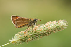 Small Skipper Butterfly ( Thymelicus sylvestris). Stock Photography