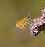 Small Skipper Buttterfly. Royalty Free Stock Image