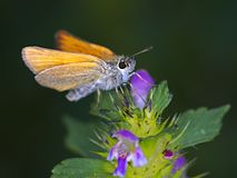 Small Skipper Royalty Free Stock Photos
