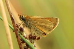 Small Skipper Moth stock photos