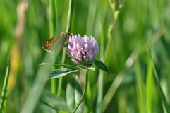 Small Skipper. Butterfly on a meadow Stock Images