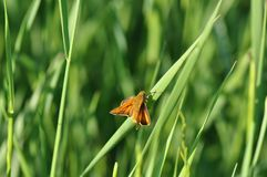Small Skipper. Butterfly on a meadow Stock Photo